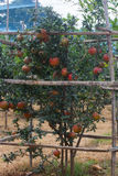 Pomogrenate-Baum voll von Früchten Lizenzfreies Stockfoto