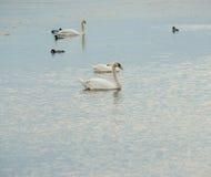 Pomorie: lösa vita svanar på en sjö, Bulgarien Fotografering för Bildbyråer