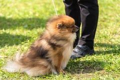 Pomorski spitz pies w parku Zdjęcie Royalty Free