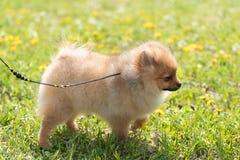 Pomorski spitz pies w parku Obrazy Stock