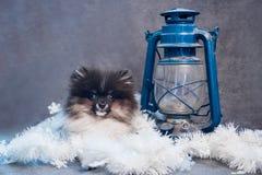 Pomorski Spitz psa szczeniak w girlandach na bożych narodzeniach lub nowym roku zdjęcia royalty free