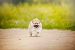 Pomorski Spitz szczeniaka bieg Zdjęcie Royalty Free