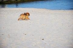 Pomorskiego Spitz ma?y pies fotografia stock