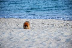 Pomorskiego Spitz ma?y pies obrazy royalty free