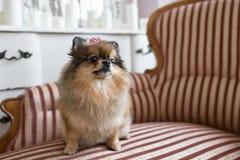 Pomorzanka jest trakenem pies Spitz typ często znać jako Pom Zwierzęcia domowego obsiadanie na krześle najlepszy i wierny Obrazy Stock