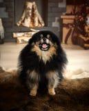 Pomorzanka, Karłowaty Spitz, czerni miniatury psa spitz obraz royalty free