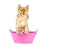 Pomorzanka pies bierze kąpielową pozycję w różowej wannie odizolowywającej Fotografia Royalty Free