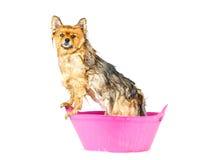 Pomorzanka pies bierze kąpielową pozycję w różowej wannie odizolowywającej Obrazy Stock