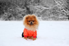 Pomorzanka pies w śniegu Zima pies Pies w śniegu Spitz w zima lesie Zdjęcie Stock
