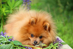 Pomorzanka pies w lato kwiatach Zdjęcie Royalty Free