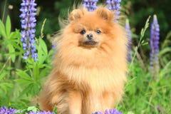 Pomorzanka pies w lato kwiatach Pomorzanka pies na natury tle Zdjęcia Stock