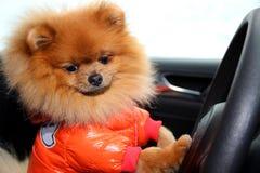 Pomorzanka pies w samochodzie Śliczny pies w samochodzie Fotografia Stock