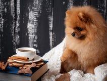 Pomorzanka pies zawijający up w koc Sterta książki i filiżanka kawy Piękny pies z książkami obraz royalty free