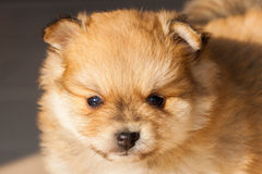 Pomorzanka pies, zbliżenie portreta pomeranian pies Zdjęcie Stock