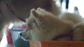 Pomorzanka psia patrzejący inny psich zdjęcie wideo