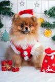 Pomorzanka w Santa odzieży na tle Bożenarodzeniowe dekoracje Fotografia Royalty Free