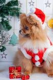 Pomorzanka w Santa odzieży na tle Bożenarodzeniowe dekoracje Zdjęcia Royalty Free