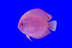 Pompadour ψάρια Στοκ Εικόνες