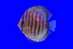Pompadour ψάρια Στοκ φωτογραφία με δικαίωμα ελεύθερης χρήσης
