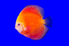 Pompadour ψάρια Στοκ εικόνες με δικαίωμα ελεύθερης χρήσης