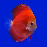 Pompadour (Discus) fish Stock Photos