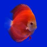 Pompadour (Discus) fish Stock Photos