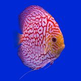 Pompadour (Discus) fish Royalty Free Stock Image