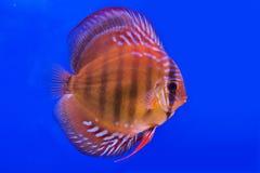 Pompadour (Discus) fish Stock Photo