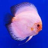 Pompadour (Discus) fish Stock Image