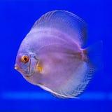 Pompadour (Discus) fish Royalty Free Stock Photos
