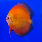 Pompadour (Discus) fish Royalty Free Stock Images