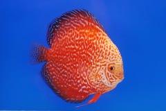 Pompadour fish Stock Photography