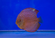 Pompadour fish Stock Photography