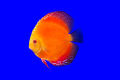 Pompadour fish Royalty Free Stock Photo
