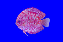 Pompadour fish Stock Photo