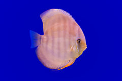 Pompadour fish Royalty Free Stock Images
