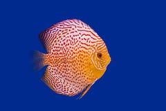 Pompadour fish Royalty Free Stock Photo