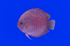 Pompadour fish Stock Photos