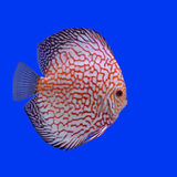 Pompadour or symphysodon fish Stock Photography