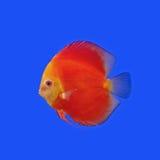 Pompadour or symphysodon fish Stock Image