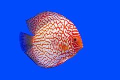 Pompadour or symphysodon fish Stock Images