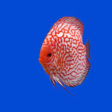 Pompadour or symphysodon fish Royalty Free Stock Photos