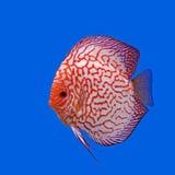 Pompadour or symphysodon fish Royalty Free Stock Images