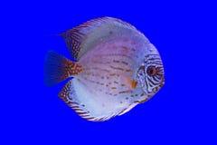Pompadour vissen Stock Foto
