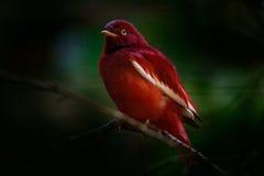 Pompadourcotinga, Xipholena punicea, exotisk sällsynt vändkretsfågel i naturlivsmiljön, mörker - grön skog, amason, Brasilien Dju arkivfoto