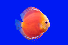 Pompadua鱼 免版税图库摄影