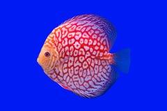 Pompadua fisk Royaltyfri Bild