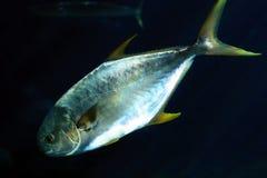 Pompano fish Stock Image