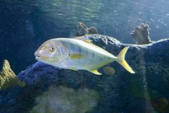Pompano Fish in the Ocean. Pompanos are marine fishes in the genus Trachinotus in the family Carangidae better known as `jacks`. Pompano may also refer to royalty free stock photo
