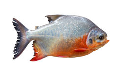 Pompano isolate. Pompano isolate on white background Royalty Free Stock Photography